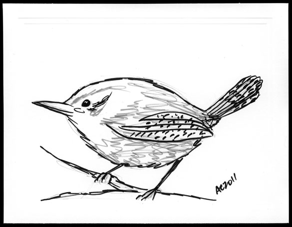 Wren sketch by Amy Crook